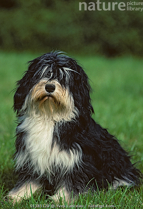 Nature Picture Library Domestic Dog Polish Lowland Sheepdog Polski Owczarek Nizinny Sitting Portrait France Yves Lanceau
