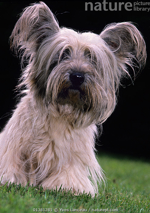Domestic dog, Skye Terrier, portrait  ,  catalogue5,DOGS,EARS,EUROPE,FRANCE,HAIRY,humourous,INDOORS,looking at camera,medium dogs,one animal,outdoors,PORTRAITS,SITTING,Skye Terrier,studio shot,terriers,VERTICAL,black background,CUTE,day,FUR,long haired,lost,Nobody,obscured face,PETS,sadness,Terrier,Canids  ,  Yves Lanceau