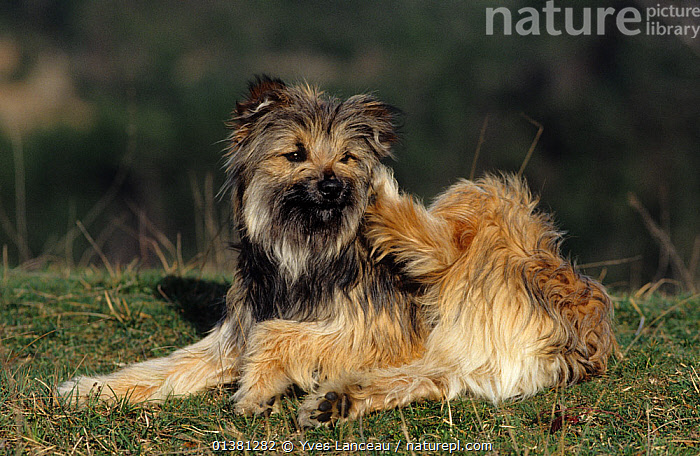 Nature Picture Library Domestic Dog Pyrenean Sheepdog