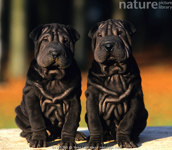 Domestic dog, Shar Pei / Chinese fighting dog, two black puppies, CUTE,day,identical,juvenikle,Nobody,PETS,puppy,Shar Pei,side by side,wrinkled,wrinkles,BLACK,black colour,catalogue5,chinese,Dog,DOGS,EUROPE,EXPRESSIONS,FRANCE,HUMOROUS,medium dogs,outdoors,PORTRAITS,puppies,SITTING,two,two animals,utility dogs,Concepts,Canids, Yves Lanceau