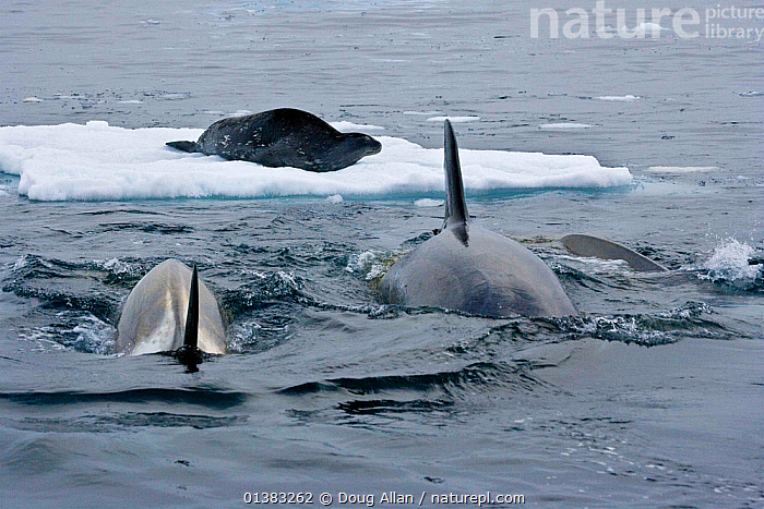 Killer Whales (Orcinus orca) approaching Weddell Seal (Leptonychotes weddellii) in preparation to knock it from the ice by creating a wave. Marguerite Bay, Antarctic Peninsula, summer. Freeze Frame book plate page 125., ANTARCTIC,ANTARCTICA,BEHAVIOUR,CETACEANS,DOLPHINS,FREEZE FRAME,ICE,INTELLIGENCE,MAMMALS,MARINE,MIXED SPECIES,POLAR,PREDATION,PREDATOR,PREY,SEALS,SURFACE,TEAMWORK,TWO,VERTEBRATES,WATER,CONCEPTS, Doug Allan