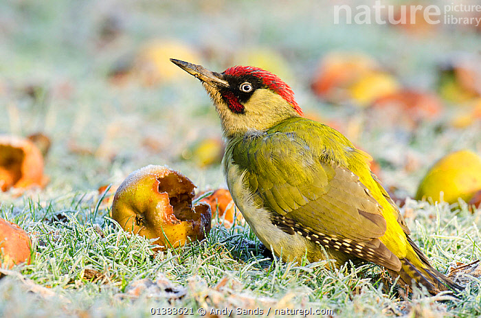 Green Woodpecker (Picus viridis) male among wind-fallen apples. Hertfordshire, England, UK, February.  ,  BEHAVIOUR,ENGLAND,FORAGING,MALES,PROFILE,UK,VERTEBRATES,WOODPECKERS,BIRDS,EUROPE,FRUIT,Plants,United Kingdom  ,  Andy Sands