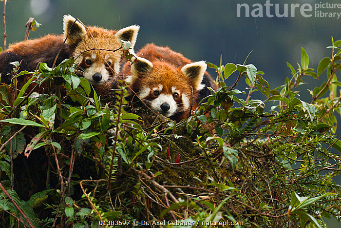 Red panda (Ailurus fulgens), pair resting in tree during monsoon season, Gangtok, Sikkim, India, captive, ARBOREAL,ASIA,CARNIVORES,CUTE,ENDANGERED,HEADS,INDIA,PANDAS,RAINING,RESTING,VERTEBRATES,FACES,INDIAN SUBCONTINENT,MAMMALS,TREES,TWO,WET SEASON,Weather,PLANTS, Dr. Axel Gebauer
