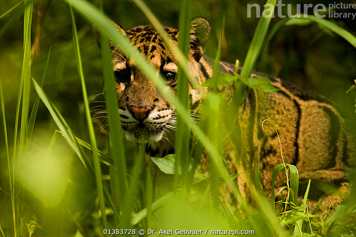 Clouded leopard (Neofelis nebulosa) Guwahati, Assam, India, captive, alert,assam,BIG CATS,captive animal,CARNIVORES,catalogue4,close up,curiosity,differential focus,FACES,felidae,focus on background,Grass,Guwahati,HEADS,india,LEOPARDS,long grass,MAMMALS,Nobody,one animal,selective focus,STANDING,undergrowth,VERTEBRATES,watchful,WILDLIFE,Plants, Dr. Axel Gebauer