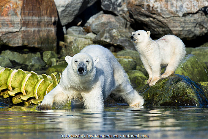 Female Polar bear (Ursus maritimus) and cub on coastal rocks near Whale skeleton, Spitsbergen, Svalbard, Norway, August, ARCTIC,BABIES,BEARS,BONES,CARNIVORES,COASTS,CUBS,ENDANGERED,EUROPE,MAMMALS,MARINE,MOTHER BABY,NORWAY,ROCKS,SCANDINAVIA,SKELETONS,SPITSBERGEN,SVALBARD,URSIDAE,VERTEBRATES, Roy Mangersnes