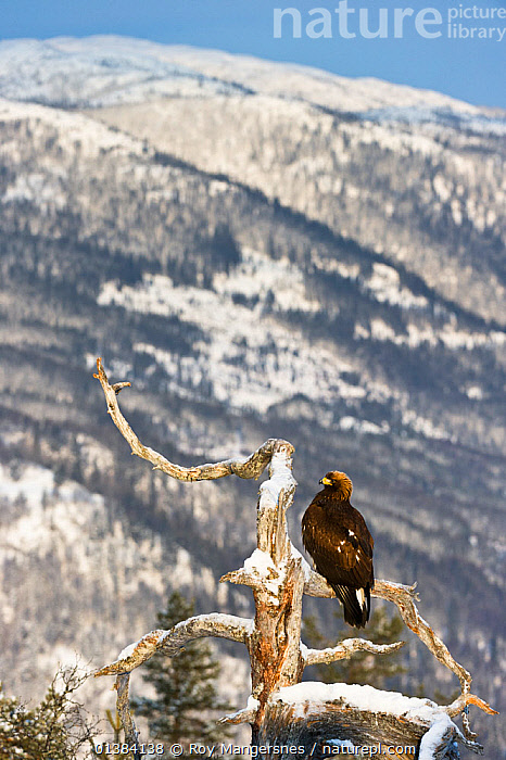 Golden eagle (Aquila chrysaetos) perched on a dead pine tree, Southern Norway, December  ,  BIRDS,BIRDS OF PREY,EAGLES,EUROPE,LANDSCAPES,NORWAY,RESTING,SCANDINAVIA,SNOW,VERTEBRATES,VERTICAL,Raptor  ,  Roy Mangersnes