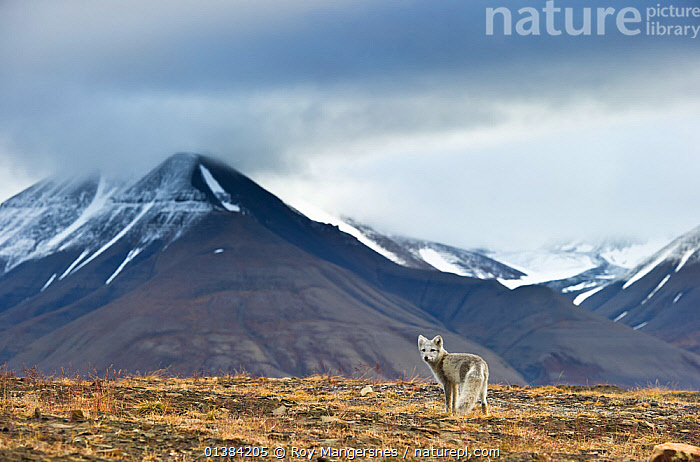 Arctic fox (Alopex / Vulpes lagopus) standing, near Longyearbyen, Spitsbergen, Svalbard, Norway, August, alopex lagopus,animals in the wild,ARCTIC,Canidae,CANIDS,CARNIVORES,catalogue4,cloudy,DRAMATIC,EUROPE,FOXES,HABITAT,LANDSCAPES,Longyearbyen,looking back,MAMMALS,MOUNTAINS,nature,Nobody,NORWAY,one animal,rear view,SCANDINAVIA,scenery,SKY,snowcapped,solitary,spitsbergen,STANDING,Svalbard,TUNDRA,VERTEBRATES,CONCEPTS,Dogs, Roy Mangersnes