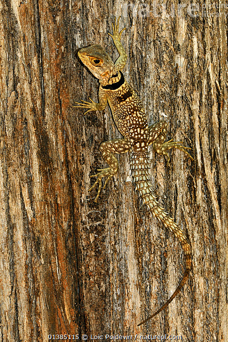 Madagascar spiny-tailed iguana (Oplurus cuvieri) climbing up tree, Madagascar.  ,  AFRICA,BEHAVIOUR,BROWN,CAMOUFLAGE,CLIMBING,LIZARDS,MADAGASCAR,OPLURID LIZARDS,PORTRAITS,REPTILES,SPINEY,SPOTTED,STRIPED,TREES,VERTEBRATES,VERTICAL,PLANTS  ,  Loic Poidevin