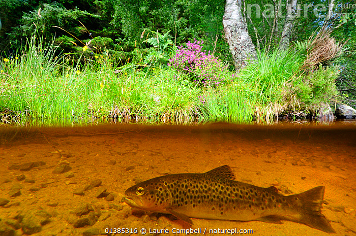 Brown trout (Salmo trutta) resting on river bed near the Aigas Field Studies Centre, Inverness-shire, Scotland, July  ,  Aigas Field,AQUATIC,catalogue4,EUROPE,FISH,FRESHWATER,HABITAT,Inverness shire,Nobody,one animal,OSTEICHTHYES,resting,river,Riverbank,riverbed,RIVERS,RIVER TROUT,SCOTLAND,side view,split level,SPLIT LEVEL,TEMPERATE,TROUT,UK,VERTEBRATES,view to land,water level,WILDLIFE,United Kingdom  ,  Laurie Campbell