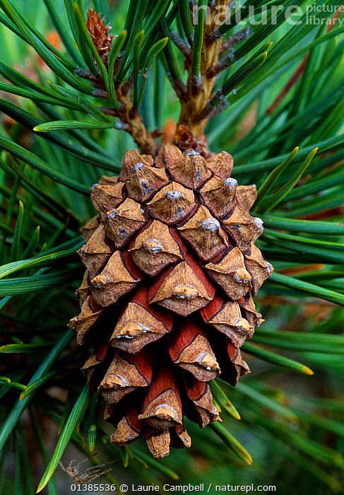 Scots pine (Pinus sylvestris) cone, Abernethy Forest RSPB Reserve, Strathspey, Scotland, June  ,  CONES,CONIFERS,EUROPE,GYMNOSPERMS,PINACEAE,PINES,PLANTS,RESERVE,SEEDS,UK,VERTICAL,United Kingdom  ,  Laurie Campbell