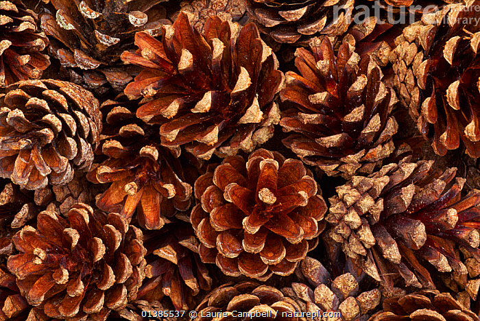 Collection of fallen Scots pine (Pinus sylvestris) cones, Abernethy Forest RSPB Reserve, Strathspey, Scotland, August  ,  BROWN,CONES,CONIFERS,EUROPE,GROUPS,GYMNOSPERMS,PINACEAE,PINES,PLANTS,UK,United Kingdom  ,  Laurie Campbell