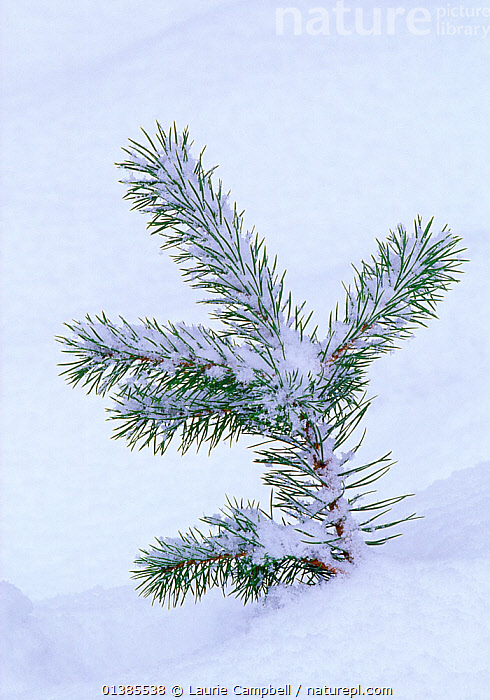 Scots pine (Pinus sylvestris) seedling in snow, Abernethy Forest RSPB Reserve, Strathspey, Scotland, December, CONIFERS,EUROPE,GYMNOSPERMS,PINACEAE,PINES,PLANTS,RESERVE,SEEDLINGS,SNOW,TREES,UK,VERTICAL,United Kingdom, Laurie Campbell