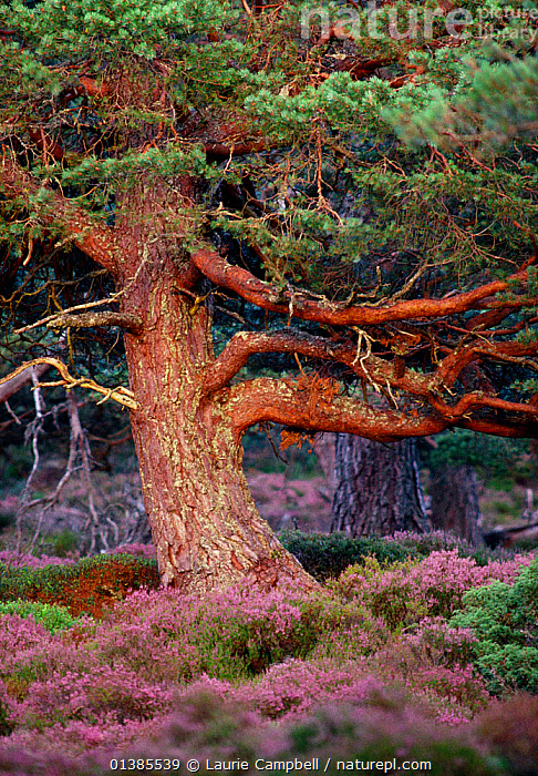 Scots Pine (Pinus sylvestris) mature tree in evening light, Abernethy Forest RSPB Reserve, Cairngorms National Park, August  ,  CONIFERS,EUROPE,FLOWERS,FORESTS,GYMNOSPERMS,HEATHERS,NP,OLD,PINACEAE,PINES,PLANTS,RESERVE,TREES,UK,VERTICAL,National Park,United Kingdom  ,  Laurie Campbell