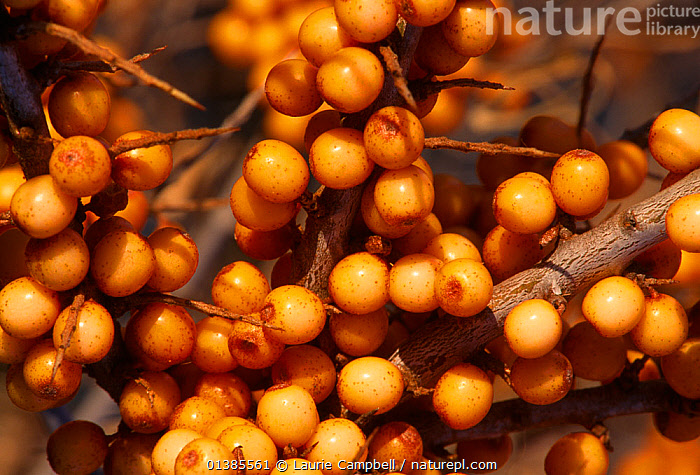Sea buckthorn (Hippophae rhamnoides) berries, Aberlady Bay Local Nature Reserve in the Firth of Forth, Scotland, November  ,  BERRIES,DICOTYLEDONS,ELAEAGNACEAE,EUROPE,FRUIT,ORANGE,PLANTS,RESERVE,UK,United Kingdom  ,  Laurie Campbell