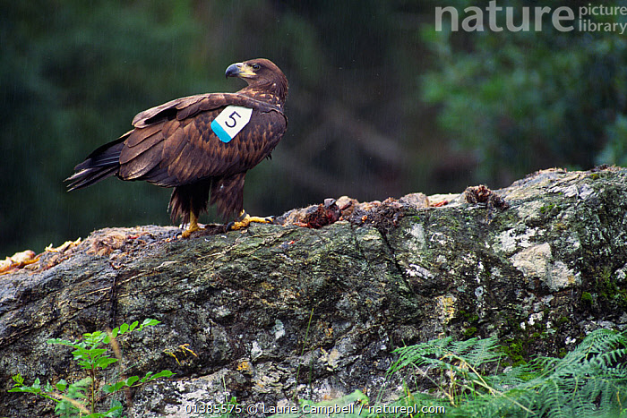 White-tailed sea eagle (Haliaeetus albicilla) re-introduced juvenile at release site, West Highlands, Scotland, August 1996  ,  ACCIPITRIDAE,BIRDS,BIRDS OF PREY,EAGLES,EUROPE,FOOD,JUVENILE,REINTRODUCTION,ROCKS,TAGS,UK,VERTEBRATES,United Kingdom,Raptor  ,  Laurie Campbell