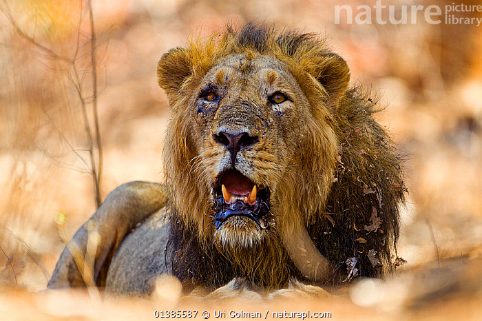 Asiatic lion (Panthera leo persica) that had been injured during the mating season, Gir Forest NP, Gujarat, India  ,  BIG CATS,BLOOD,CARNIVORES,ENDANGERED,FELIDAE,INDIA,INDIAN SUBCONTINENT,LIONS,MALES,MAMMALS,NP,OLD,RESERVE,VERTEBRATES,WOUNDED,National Park  ,  Uri Golman
