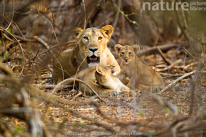 Asiatic lioness with two cubs (Panthera leo persica), Gir Forest NP, Gujarat, India  ,  BABIES,BIG CATS,CARNIVORES,CUB,ENDANGERED,FAMILIES,FELIDAE,FEMALE,INDIA,INDIAN SUBCONTINENT,LIONS,MAMMALS,NP,RESERVE,VERTEBRATES,National Park  ,  Uri Golman
