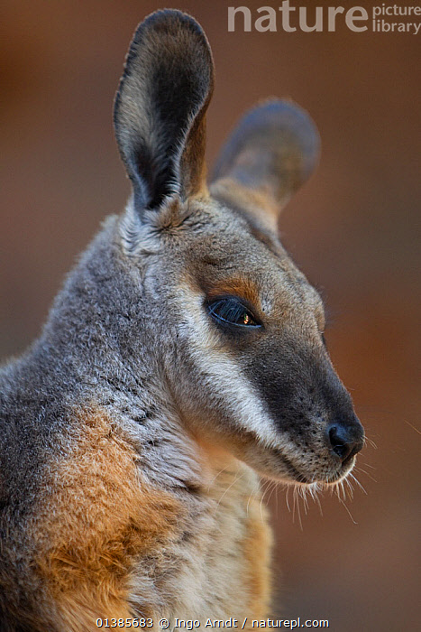 Yellow-footed rock wallaby (Petrogale xanthopus)  Australia, December, AUSTRALIA,CUTE,FACES,HEADS,MAMMALS,MARSUPIALS,PORTRAITS,PROFILE,VERTEBRATES,VERTICAL,WALLABIES, Ingo Arndt