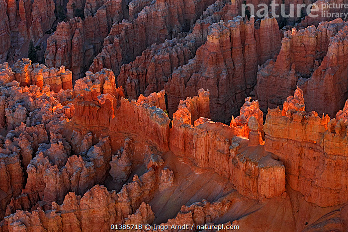 Amphitheater at Bryce Canyon, erosional formations called hoodoos, Bryce Canyon National Park, Utah, USA, September 2010  ,  LANDSCAPES,NORTH AMERICA,NP,RESERVE,ROCK FORMATIONS,ROCKS,SANDSTONE,TRAVEL,USA,VALLEYS,National Park  ,  Ingo Arndt