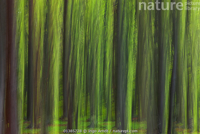 European beech trees (Fagus sylvatica) Ghost Forest, Mecklenburg-Vorpommern, Germany  ,  ABSTRACT,ARTY SHOTS,BLURRED,DECIDUOUS,DICOTYLEDONS,EUROPE,FAGACEAE,FORESTS,PLANTS,TREES,TRUNKS,WOODLANDS  ,  Ingo Arndt