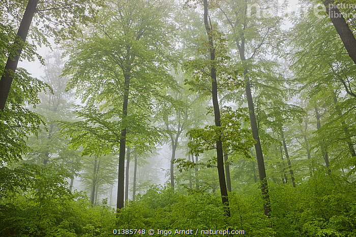 European Beech trees (Fagus sylvatica) forest in mist, Spessart, Germany, May  ,  DECIDUOUS,DICOTYLEDONS,EUROPE,FAGACEAE,FORESTS,MISTY,PLANTS,TREES,WOODLANDS  ,  Ingo Arndt