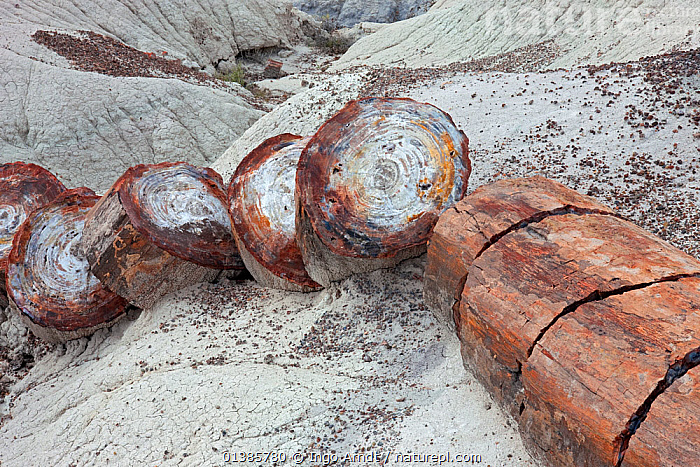 Petrified wood segments from a large tree, Petrified Forest National Park, Arizona, USA, October  ,  ANCIENT,FOSSILISED,FOSSILS,GEOLOGY,NORTH AMERICA,OLD,PLANTS,TREES,USA  ,  Ingo Arndt