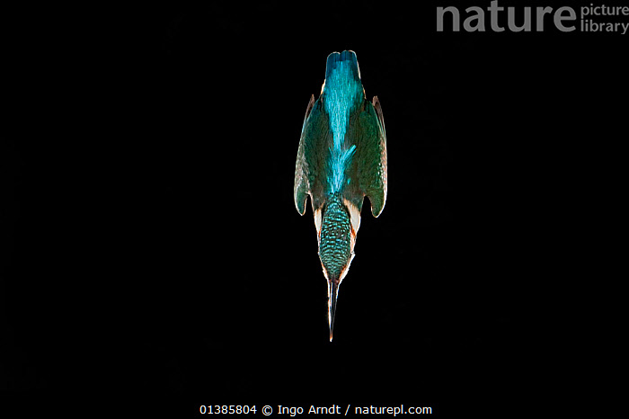 Kingfisher (Alcedo atthis) diving into water to catch a fish, Hessen, Germany, sequence 1/9  ,  ACTION,aerodynamic,ALCEDINIDAE,BEHAVIOUR,BIRDS,BLACK,black background,black colour,catalogue4,close up,copyspace,DETERMINATION,direction,DIVING,EUROPE,Focus,GERMANY,Hessen,HUNTING,KINGFISHERS,motion,MOVEMENT,moving down,Nobody,one animal,SEQUENCE,SPEED,upside down,VERTEBRATES,WATER,WILDLIFE  ,  Ingo Arndt