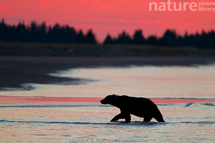 Grizzly Bear (Ursus arctos horribilis) returning to beach at sunset after fishing for salmon during spawning season, Lake Clark National Park, Alaska, USA, August  ,  BEARS,BROWN BEAR,CARNIVORES,DUSK,EVENING,FISHING,HUNTING,MAMMALS,MARINE,NORTH AMERICA,NP,PROFILE,RESERVE,SEA,SHALLOWS,SILHOUETTE,SILHOUETTED,USA,VERTEBRATES,WALKING,WATER,National Park  ,  Ingo Arndt