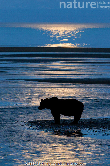 Grizzly Bear (Ursus arctos horribilis) waiting for salmon under moonlit sky, Lake Clark National Park, Alaska, USA, August, ANNUAL,BEACHES,BEARS,BROWN BEAR,CARNIVORES,COASTS,FISHING,HUNTING,MAMMALS,MARINE,NIGHT,NORTH AMERICA,NP,PROFILE,RESERVE,SALMON RUN,SEA,SILHOUETTE,SILHOUETTED,TWILIGHT,USA,VERTEBRATES,VERTICAL,WATCHING,WATER,National Park, Ingo Arndt