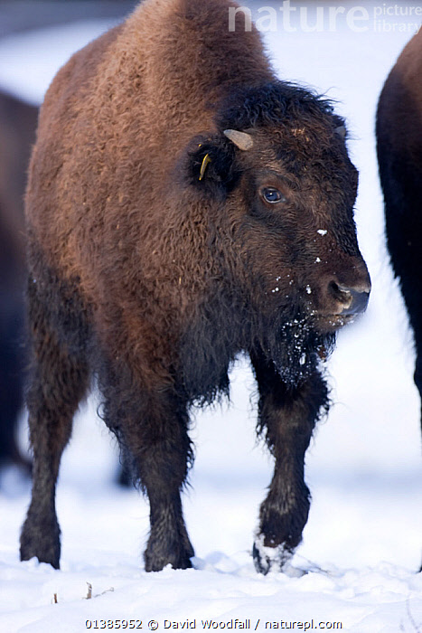 Farmed Bison (Bison Bison) in the snow, reared for their meat and tourist viewing, Corwen, N Wales, herd  originating in Eire.  ,  ARTIODACTYLA,BOVIDS,BROWN,BUFFALOS,CATTLE,DOMESTIC,DOMESTICATED,FLUFFY,FUR,HAIRY,LIVESTOCK,MAMMALS,PORTRAITS,SNOW,STANDING,VERTEBRATES,VERTICAL,WHITE  ,  David Woodfall