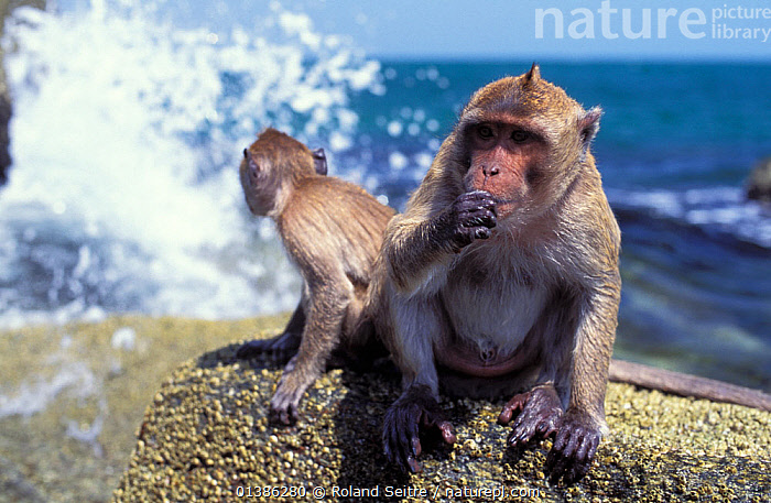 Crab-eating macaque (Macaca fascicularis) sitting on rock beside crashing waves, Thailand  ,  ASIA,CERCOPITHECIDAE,COASTS,FEEDING,MACAQUES,MAMMALS,MONKEYS,PRIMATES,ROCKS,SEA,SOUTH EAST ASIA,THAILAND,VERTEBRATES,WATER,WAVES  ,  Roland Seitre