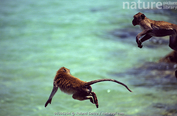 Crab-eating macaques (Macaca fascicularis) leaping off rocks into the sea, Thailand  ,  ASIA,BEHAVIOUR,COASTS,JUMP,JUMPING,LEAPING,PLAY,PLAYING,ROCKS,SEA,SOUTH EAST ASIA,THAILAND,TWO,WATER,Communication  ,  Roland Seitre