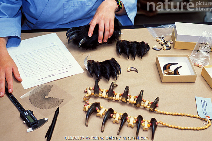 Cookie Sims, mammalogist, examining jewelry made from Indian bear claws at the National Fish and Wildlife Forensics Laboratory, Ashland, Oregon, USA  ,  BEARS,CLAWS,ILLEGAL,MAMMALS,PEOPLE,POLICE,RESEARCH,USA,VERTEBRATES,WILDLIFE TRADE,North America  ,  Roland Seitre