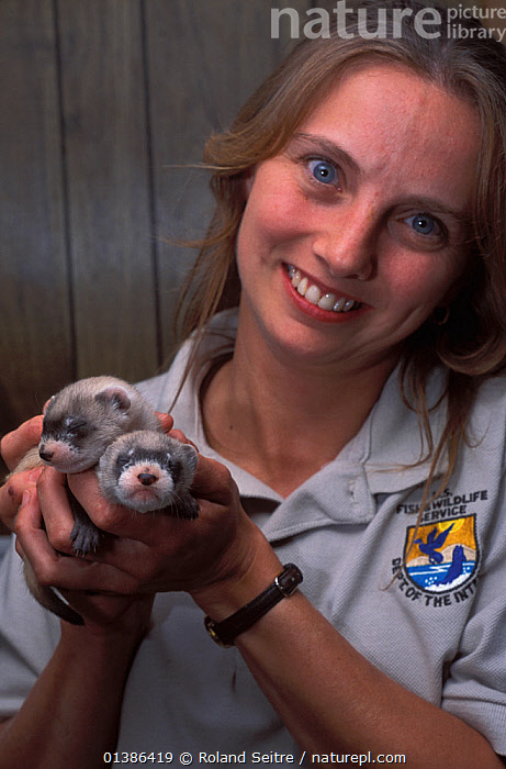 Wildlife biologist Valery Kopsco, with a young Black-footed Ferrets (Mustela nigripes), part of a reintroduction project at Bowdoin National Wildlife Refuge, Montana, March 2002.  ,  BABIES,CARNIVORES,CONSERVATION,CUTE,ENDANGERED,INDOORS,MAMMALS,MONTANA,MUSTELIDS,NORTH AMERICA,PEOPLE,REINTRODUCTION,SMALL,SMILING,TWO,USA,VERTEBRATES,WEASELS,YOUNG  ,  Roland Seitre
