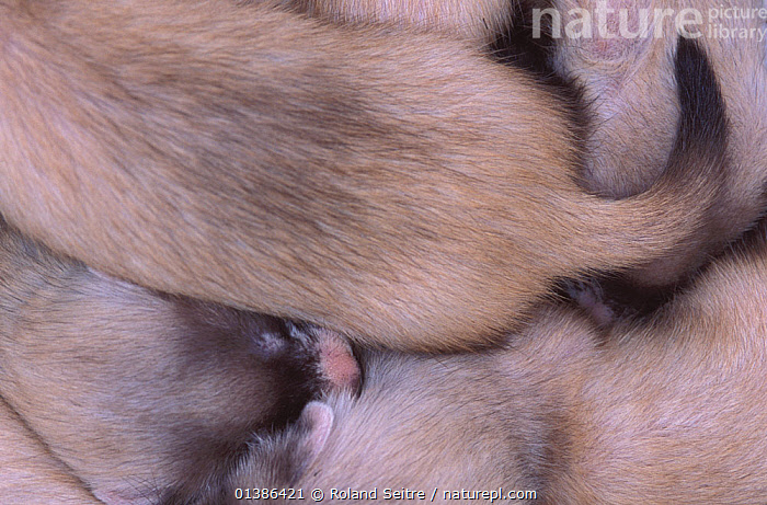 Close-up of a huddle of young Black-footed Ferrets (Mustela nigripes), part of a reintroduction project at Bowdoin National Wildlife Refuge, Montana, March 2002.  ,  CARNIVORES,CONSERVATION,CUBS,ENDANGERED,FULL FRAME,GROUPS,MAMMALS,MUSTELIDS,NORTH AMERICA,REINTRODUCTION,SMALL,MONTANA,TAILS,USA,VERTEBRATES,WEASELS,YOUNG  ,  Roland Seitre