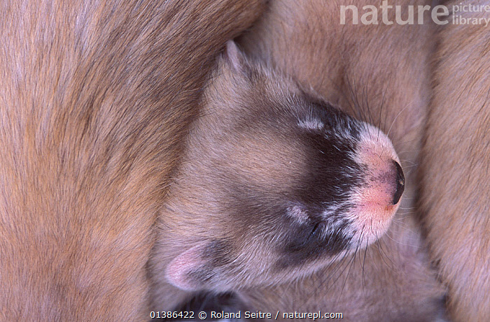 Young Black-footed Ferret (Mustela nigripes) , part of a reintroduction project at Bowdoin National Wildlife Refuge, Montana, March 2002.  ,  BABIES,CARNIVORES,CONSERVATION,ENDANGERED,MAMMALS,MUSTELIDS,NORTH AMERICA,REINTRODUCTION,SMALL,MONTANA,USA,VERTEBRATES,WEASELS,YOUNG  ,  Roland Seitre
