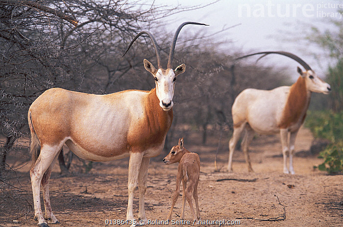 Scimitar Oryx (Oryx dammah) with foal at the breeding program at Reserve du Ferlo Nord, near Ranero in Senegal. Captive. Previously common, over-hunting and habitat destruction through the 20th century has left the Scimitar Oryx extinct in the wild. 2002.  ,  AFRICA,ANTELOPES,ARTIODACTYLA,BABY,BOVINES,CALF,CONSERVATION,EXTINCT,GAZELLES,GROUPS,MAMMALS,MOTHER BABY,ORYX,REINTRODUCTION,SENEGAL,VERTEBRATES,WEST AFRICA,YOUNG  ,  Roland Seitre