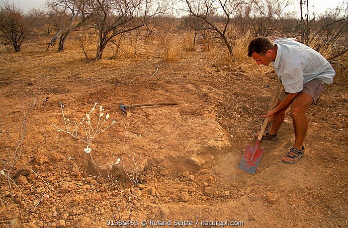 Antoine Cadi, scientist, checks the ground surrounding the burrow of an African spurred tortoise (Centrochelys / Geochelone sulcata) Sahel desert, Ferlo North Reserve, Senegal, West Africa, Vulnerable species. First field study on the species at the site where a few large individuals survive.  ,  burrow, Caucasian, CHELONIA, CONSERVATION, DESERTS, ENDANGERED, GEOCHELONE SULCATA, HABITAT, MAN, PEOPLE, REPTILES, RESEARCH, Testudinidae, TORTOISES, UNDERGROUND, VERTEBRATES, Vulnerable, WEST-AFRICA,Africa  ,  Roland Seitre