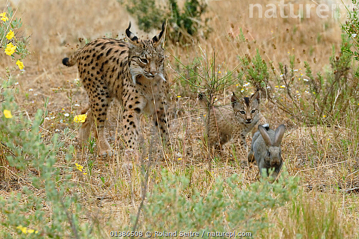 Spanish / Iberian Lynx (Lynx pardina) cub chasing a rabbit as its mother watches; part of a breeding and reintroduction program. Captive: critically endangered. Andalusia, Spain, June 2006.  ,  ANDALUSIA,BEHAVIOUR,CARNIVORES,CATS,CONSERVATION,CRITICALLY ENDANGERED,ENDANGERED,EUROPE,FELIDAE,LEARNING,MAMMALS,MOTHER BABY,NP,PARDELLE,PARDINUS,PREDATION,PREY,RABBITS,REINTRODUCTION,RESERVE,SPAIN,VERTEBRATES,National Park  ,  Roland Seitre