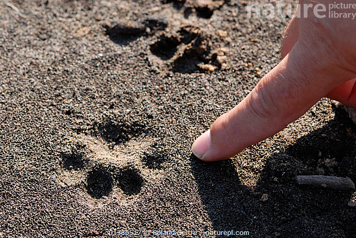 Tracks of the critically endangered Iberian / Spanish Lynx (Lynx pardina) being examined. Doana National Park, Andalusia, Spain, June 2007.  ,  ANDALUSIA,CARNIVORES,CATS,CONSERVATION,CRITICALLY ENDANGERED,ENDANGERED,EUROPE,FELIDAE,FOOTPRINTS,MAMMALS,NP,PARDELLE,PARDINUS,PRINTS,REINTRODUCTION,RESERVE,SPAIN,TRACKS,VERTEBRATES,National Park  ,  Roland Seitre
