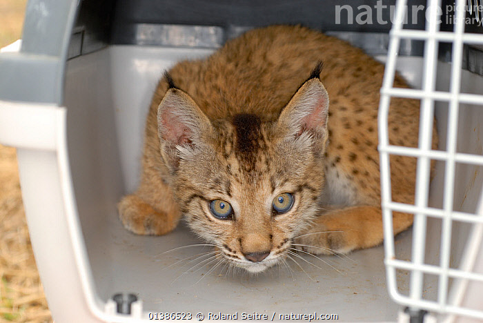 Iberian / Spanish Lynx (Lynx pardina) cub, 2-3 months, in transport box at the Donana breeding station. Lynx reintroduction program, Andalusia, Spain, June 2007.  ,  ANDALUSIA,CARNIVORES,CATS,CONSERVATION,CRITICALLY ENDANGERED,CUBS,ENDANGERED,EUROPE,FELIDAE,LOOKING AT CAMERA,MAMMALS,NP,PARDELLE,PARDINUS,PORTRAITS,REINTRODUCTION,RESERVE,SPAIN,VERTEBRATES,YOUNG,National Park  ,  Roland Seitre