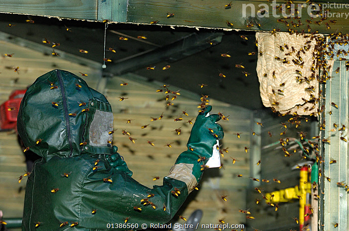 Man using insecticide on European Hornet (Vespa crabro) nest as the workers swarm around him. Tours, France, September 2007.  ,  CONTROL,EUROPE,EUSOCIAL,FRANCE,GROUPS,HYMENOPTERA,INDOORS,INSECTS,INVERTEBRATES,MANY,MASSES,MULTITUDES,NESTS,PEOPLE,PEST,PESTS,SOCIAL,WASPS  ,  Roland Seitre
