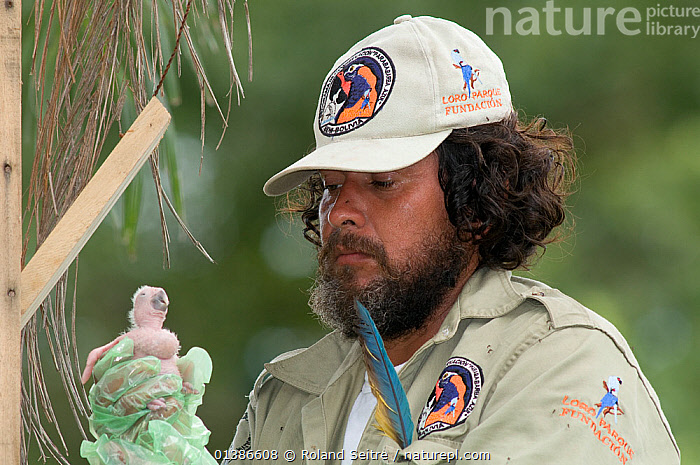 Conservation officer, Hernan Vargas Ayala, examining chick from nestbox of Blue throated / Wagler's macaw (Ara glaucogularis) Trinidad, Beni, Bolivia, Critically endangered species, January 2008.  ,  BABIES,BEARD,BIRDS,BOLIVIA,CANIDE MACAW,CHICKS,CONSERVATION,CRITICALLY ENDANGERED,ENDANGERED,MACAWS,MAN,NESTBOXES,NESTS,PARROTS,PEOPLE,PSITTACIDAE,RESEARCH,SOUTH AMERICA,VERTEBRATES,WAGLER'S MACAW  ,  Roland Seitre