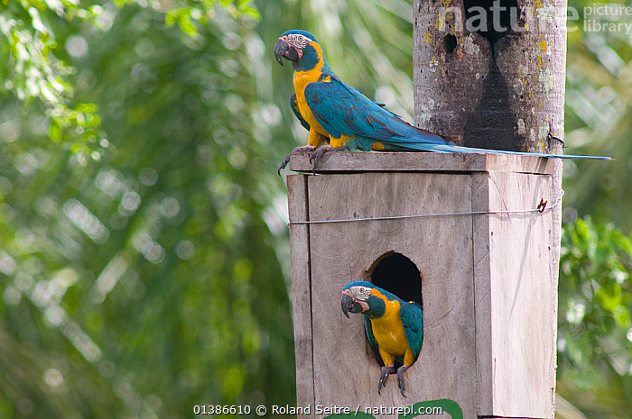 Pair of Blue throated / Wagler's macaw (Ara glaucogularis) on nest box, Trinidad, Beni, Bolivia, Critically endangered species, January 2008.  ,  BIRDS,BOLIVIA,CANIDE MACAW,CONSERVATION,CRITICALLY ENDANGERED,ENDANGERED,MACAWS,MALE FEMALE PAIR,NESTBOXES,NESTS,PARROTS,PSITTACIDAE,RESEARCH,SOUTH AMERICA,TWO,VERTEBRATES,WAGLER'S MACAW  ,  Roland Seitre