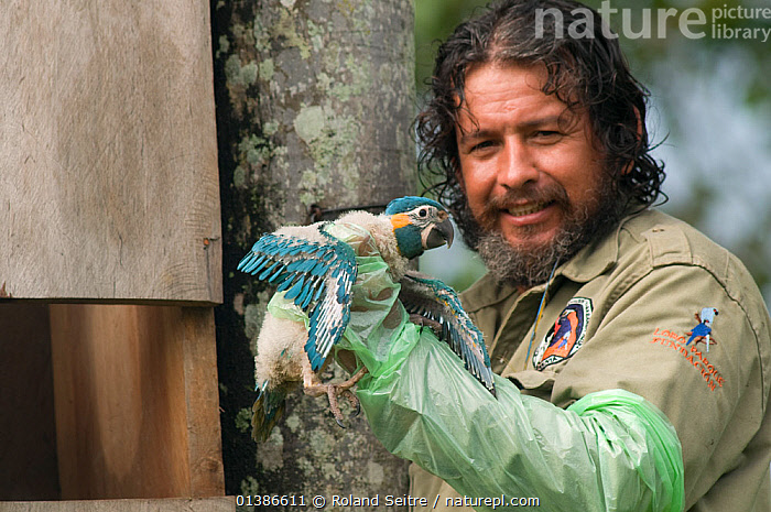 Conservation officer, Hernan Vargas Ayala, examines growing chick from nestbox of Blue throated / Wagler's macaw (Ara glaucogularis) Trinidad, Beni, Bolivia, Critically endangered species, January 2008.  ,  BABIES,BEARD,BIRDS,BOLIVIA,CANIDE MACAW,CHICKS,CONSERVATION,CRITICALLY ENDANGERED,ENDANGERED,MACAWS,MAN,NESTBOXES,NESTS,PARROTS,PEOPLE,PSITTACIDAE,RESEARCH,SOUTH AMERICA,VERTEBRATES,WAGLER'S MACAW  ,  Roland Seitre