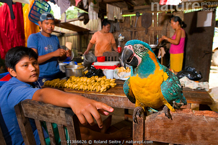 Pet Blue throated / Wagler's macaw (Ara glaucogularis) in hut amongst people preparing food, Trinidad, Beni, Bolivia, Critically endangered species, January 2008.  ,  BIRDS,CANIDE MACAW,COOKING,CRITICALLY ENDANGERED,ENDANGERED,FAMILIES,HISPANIC,INDOORS,MACAWS,PARROTS,PEOPLE,PETS,PSITTACIDAE,SOUTH AMERICA,VERTEBRATES,WAGLER'S MACAW  ,  Roland Seitre