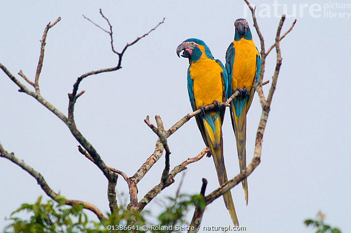 Blue throated / Wagler's macaw (Ara glaucogularis) pair perched in tree, Trinidad, Beni, Bolivia, Critically endangered species, January 2008  ,  BIRDS,CANIDE MACAW,CRITICALLY ENDANGERED,ENDANGERED,MACAWS,MALE FEMALE PAIR,PARROTS,PSITTACIDAE,SOUTH AMERICA,TWO,VERTEBRATES,WAGLER'S MACAW,YELLOW  ,  Roland Seitre