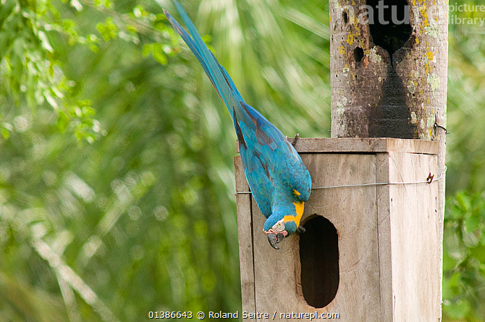 Blue throated / Wagler's macaw (Ara glaucogularis) at nestbox put up by conservation team, Trinidad, Beni, Bolivia, Critically endangered species, January 2008  ,  BIRDS,CANIDE MACAW,CONSERVATION,CRITICALLY ENDANGERED,ENDANGERED,MACAWS,NESTBOXES,NESTS,PARROTS,PSITTACIDAE,SOUTH AMERICA,VERTEBRATES,VERTICAL,WAGLER'S MACAW  ,  Roland Seitre