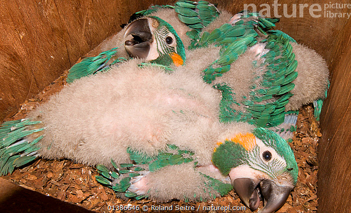 Three chicks of Blue throated / Wagler's macaw (Ara glaucogularis) in nestbox put up by conservation team, Trinidad, Beni, Bolivia, Critically endangered species, January 2008, exceptional breeding of 3 chicks in same clutch  ,  BABIES,BIRDS,CANIDE MACAW,CHICKS,CONSERVATION,CRITICALLY ENDANGERED,ENDANGERED,GROUPS,MACAWS,NESTBOXES,PARROTS,PSITTACIDAE,SOUTH AMERICA,THREE,VERTEBRATES,WAGLER'S MACAW  ,  Roland Seitre