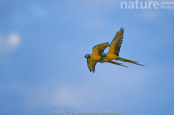 Blue throated / Wagler's macaw (Ara glaucogularis) pair in flight, Critically endangered species, July 2008, Estancia Tacuaral, Santa Ana del Yacuma, Beni, Bolivia  ,  BIRDS,CANIDE MACAW,CRITICALLY ENDANGERED,ENDANGERED,FLYING,LOW ANGLE SHOT,MACAWS,MALE FEMALE PAIR,PARROTS,PSITTACIDAE,TWO,VERTEBRATES,WAGLER'S MACAW,YELLOW  ,  Roland Seitre